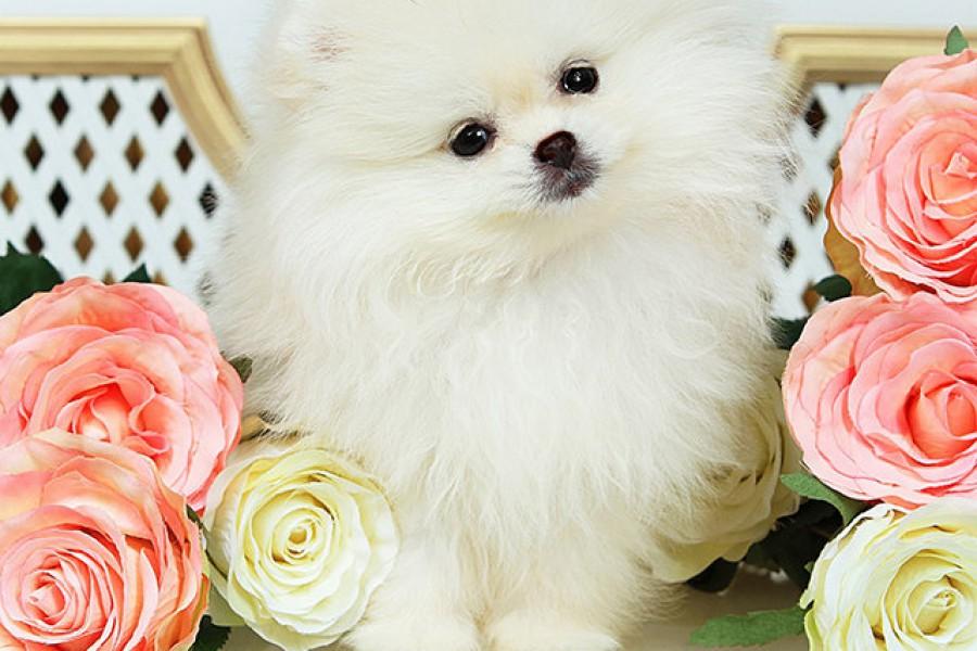 Кремово-белый щенок