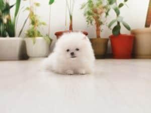 Померанский шпиц фото щенки